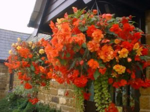 begonias make beautiful hanging baskets using our automatic drip irrigation system